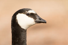 Close-up of a barnacle goose Stock Images