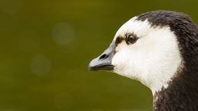 Close-up of a Barnacle Goose Stock Image