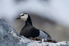 Close-up of barnacle goose nesting on rock Stock Images