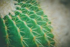 Close up barrel cactus and long thorn at public park in vintage style. Selective focus royalty free stock photo