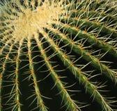 Close-up Barrel cactus Royalty Free Stock Photo