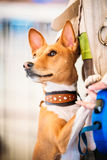 Close Up Basenji Kongo Terrier Dog. The Basenji is a breed of hunting dog Royalty Free Stock Photos