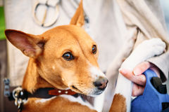 Close Up Basenji Kongo Terrier Dog. The Basenji is a breed of hunting dog Stock Photo