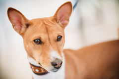 Close Up Basenji Kongo Terrier Dog. The Basenji is a breed of hunting dog Stock Photography