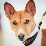 Close Up Basenji Kongo Terrier Dog. The Basenji is a breed of hunting dog Stock Photos