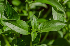 Close-up of basil leaves Stock Photography