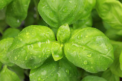Close up of basil leaves Royalty Free Stock Photo