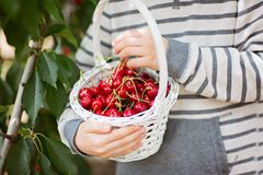 Boy picking cherries. Close-up of basket full of cherry berries, child holding the basket, healthy eating concept Royalty Free Stock Images