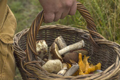 Close-up basket in hands of mushroom hunter Royalty Free Stock Image