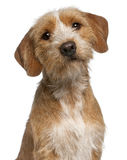 Close-up of Basset Fauve de Bretagne, 1 year Stock Image