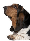 Close-up of Basset hound, 2 years old Royalty Free Stock Photos