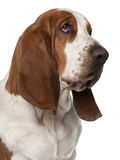Close-up of Basset Hound, 2 years old Royalty Free Stock Photography