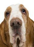 Close-up of a Basset Hound. Isolated on white stock photos