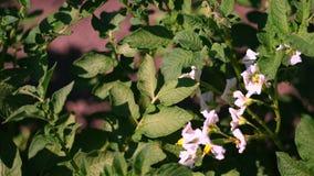 Close-up, batatas de florescência pálido - as flores cor-de-rosa florescem em arbustos da batata em um campo de exploração agríco filme