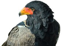 A Bateleur eagle with a white background. Close-up of  bateleur eagle turning its head, with a white background royalty free stock image