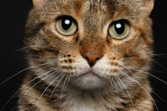 Close-up battle-seasoned cat. Close-up Tortoiseshell Tabby cat on black background.battle-seasoned cat  with markings on the nose Royalty Free Stock Photo