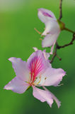 Close up of the Bauhinia Variegata Stock Photo