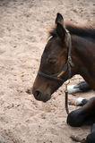 Close up bay baby colt. Close up of a bay young colt napping in the sand Royalty Free Stock Photo