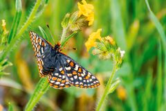Close up of Bay Checkerspot butterfly Euphydryas editha bayensis ; classified as a federally threatened species, south San. Francisco Bay area, San Jose stock image