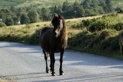 Close Up Bay Dartmoor Pony Royalty Free Stock Photos