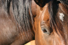 Shadow. Close up of bay horse Royalty Free Stock Images