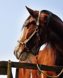 Close up of a Bay Stallion Royalty Free Stock Image