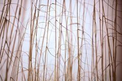Beach Grass. A close up of beach grass with vertical stems with horizontal, wavy leafs. Extreme depth of field (DOF Royalty Free Stock Image