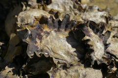 Close up of beach oysters Stock Photo