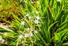 Close up of a beach spider lily bush royalty free stock images