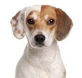 Close-up of Beagle, 1 year old Royalty Free Stock Image