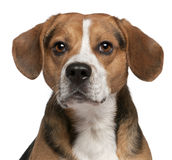 Close-up of Beagle, 3 years old Stock Photo