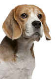 Close-up of Beagle, 8 years old Stock Photos