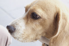 Close up beagle dog looking Royalty Free Stock Photography
