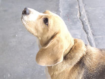 Close up beagle dog looking Stock Image