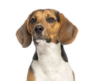 Close-up of a Beagle, 11 months old Stock Images