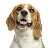 Close-up of a Beagle panting, looking up, isolated Stock Photos