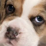 Close-up of Beagle puppy Stock Photography