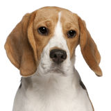 Close-up of Beagle puppy, 6 months old Stock Photo