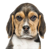 Close-up of a Beagle puppy looking at the camera, isolated royalty free stock photo