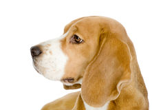Close-up of Beagle puppy in profile. Royalty Free Stock Images