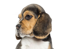 Close-up of a Beagle puppy's profile, isolated Stock Images