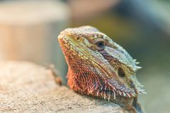 Close - up of the bearded Agama in the terrarium, view through royalty free stock photo