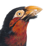 Close-up of a Bearded Barbet Royalty Free Stock Photography