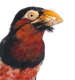 Close-up on a Bearded Barbet Stock Photos