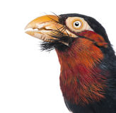 Close-up of a Bearded Barbet - Lybius dubius Royalty Free Stock Photo