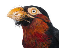 Close-up of a Bearded Barbet - Lybius dubius Royalty Free Stock Photos