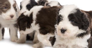 Close up on a Bearded Collie puppy, 6 weeks old Royalty Free Stock Photography
