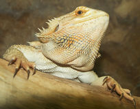 A Close Up of a Bearded Dragon Royalty Free Stock Image
