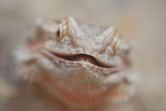Close Up of a Bearded Dragon Royalty Free Stock Image