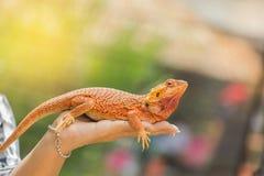 Close up bearded dragon australian lizard on hand Stock Image